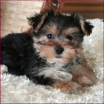Morkieyorkteseyorkie Maltese Puppies For Saleiowa