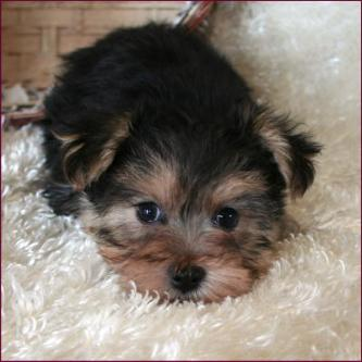 Morkie Puppies For Sale Iowa >> Morkie|Yorktese|Yorkie Maltese Puppies for Sale|Iowa
