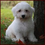 Bichon Frise Puppies for sale - Rolling Meadows Puppies has