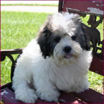Shichon Puppies for Sale|Daisy Dog|Shihtzu Mixed Breed Puppy|Iowa