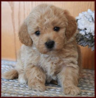 ... poochon poodle bichon frise hybrid cross breed dog picture pictures