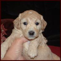 Bichon Poodle Puppies
