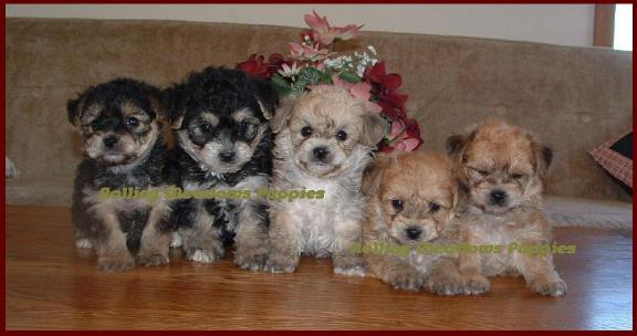 Yochon Puppies - Rolling Meadows Puppies