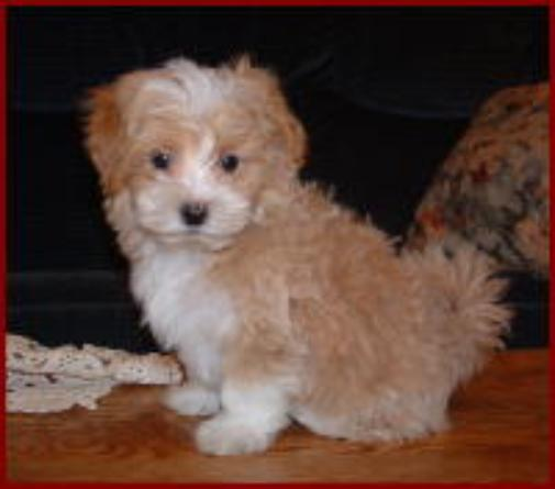 The Maltipoo dogs/puppies are Hypoallergenic/non-shedding