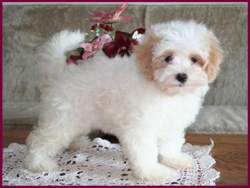 Maltipoo Puppies 4 Sale| Maltepoo| Maltese Poodle Puppies | Iowa