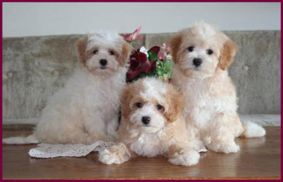 Maltipoo Puppies from Rolling Meadows Puppies