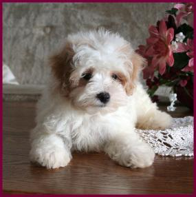 White Maltipoo Puppies