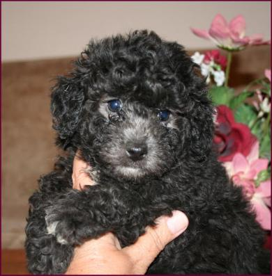 Available Little Doodles ~ Bichon Poodle, Bichpoo or Poochon Puppies