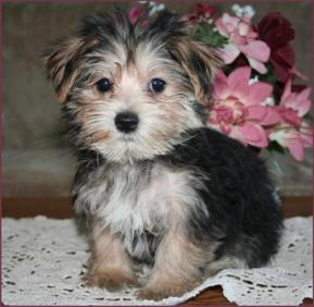 Morkie Puppies on Morkie Yorktese Yorkie Maltese Puppies For Sale Iowa